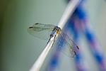 Dragonfly Visiting Borka (7315926170).jpg