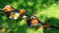 Drake Mandarin Ducks.jpg