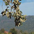 Dryomyia lichtensteini 20091019 1.jpg