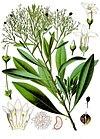 Duboisia myoporoides - Köhler–s Medizinal-Pflanzen-055.jpg