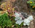 Dudleya farinosa 1.jpg