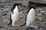 Due to a fast crossing of the Drake passage, we have a bonus landing at Turret Point on the S shore of King George Island.nesting Adelie Penguins (Pygoscelis adeliea). (25998643705).jpg