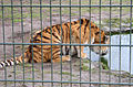 Durstiger Tiger.jpg