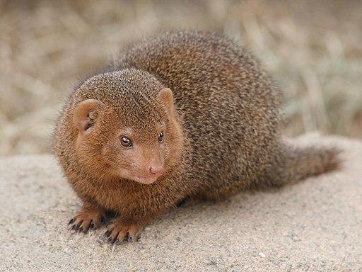 Dwarf mongoose Korkeasaari zoo