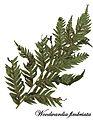 E20161123-0001—Woodwardia fimbriata—RPBG (31096771992).jpg