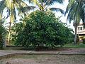 ESPERANTO tree.JPG