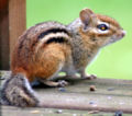 Eastern Chipmunk 1745.jpg