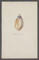 Eburna spec. - - Print - Iconographia Zoologica - Special Collections University of Amsterdam - UBAINV0274 074 01 0008.tif