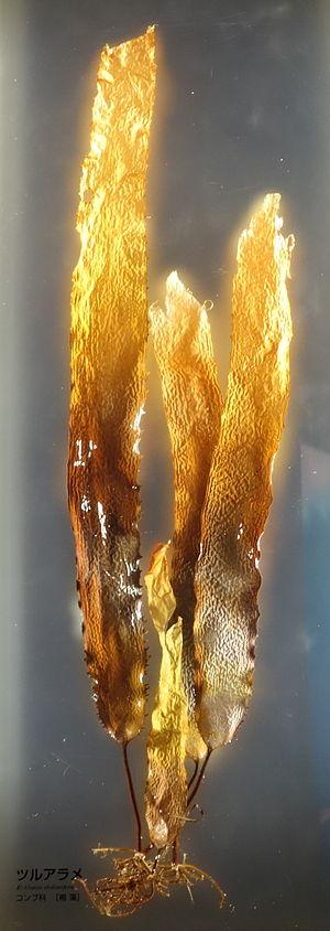 Ecklonia stolonifera - Ecklonia stolonifera