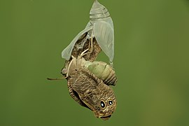 Eclosion of Melanitis leda (Linnaeus, 1758) – Common Evening Brown - position 4.jpg