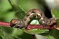 Ectropis.crepuscularia.caterpillar.jpg