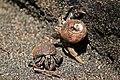 Ecuadorian hermit crab (Coenobita compressus).jpg