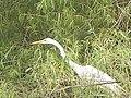 Egret - panoramio.jpg