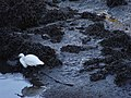 Egretta garzetta.001 - Ria do Burgo.jpg