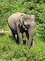 Eléphant-Uda Walawe National Park (3).JPG