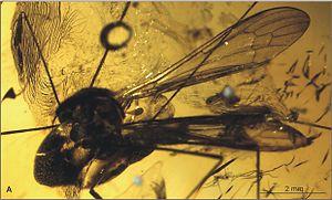 Elephantomyia irinae - E. (E.) irinae body