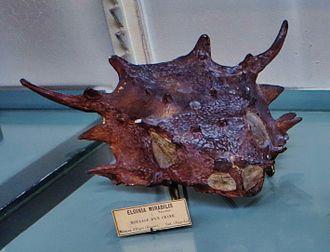 Elginia - Elginia mirabilis skull cast