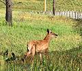 Elk Calf, Valles Caldera.jpg