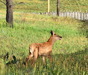 Valles Caldera - Elk Calf in the Valle Grande, 2012