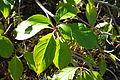 Emmenopterys henryi - Quarryhill Botanical Garden - DSC03342.JPG