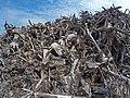 Empilement de souches de pins après désouchage d'une coupe rase 2018 Landes de Gascogne 17.jpg