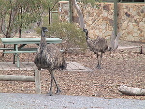 Para Wirra Conservation Park - Emus at Parra Wirra, near the Park Office