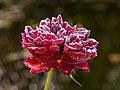 Englische Rose -The Squire- Raureif-20201107-RM-091853.jpg