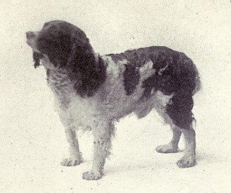 English Springer Spaniel - Image: English Springer from 1915
