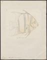 Ephippus faber - 1700-1880 - Print - Iconographia Zoologica - Special Collections University of Amsterdam - UBA01 IZ13100275.tif
