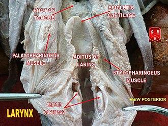 Palatopharyngeus muscle - Image: Epiglotic cartilage