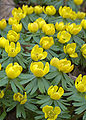 Eranthis hyemalis aka winter aconite 2005 5th april (edit).jpg