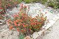 Erica cerinthoides - UC Santa Cruz Arboretum - DSC07298.JPG