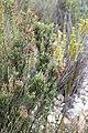 Erica discolor (Ericaceae) (4575521159).jpg