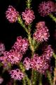 Erica plumosa 5Dsr 0365.png