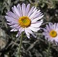 Erigeron argentatus 8.jpg