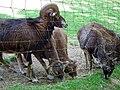 Erwachsene Mufflon Bergtierpark Erlenbach.JPG