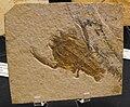 Eryonarctiformis.jpg