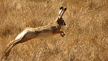 The Ethiopian highland hare running in a field