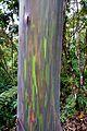 Eucalyptus deglupta. Rainbow Eucalyptus - Flickr - gailhampshire.jpg