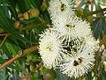 Eucalyptus gomphocephala Tuart Blossom (2347476596).jpg