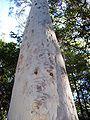 Eucalyptus signata Coffs.jpg