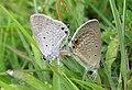 Euchrysops cnejus Fabricius, 1798 – Gram Blue mating at Madayippara (13).jpg