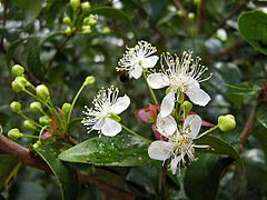 Eugenia uniflora O.Berg - Flickr - Alex Popovkin, Bahia, Brazil (3).jpg