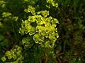 Euphorbia amygdaloides (26720893690).jpg