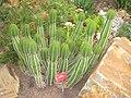 Euphorbia caerulescens - NBGB - IMG 4338.JPG