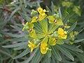Euphorbia dendroides fruit 1.JPG