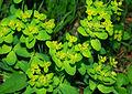 Euphorbia epithymoides 03.jpg