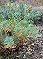 Euphorbia nicaeensis kz1.JPG