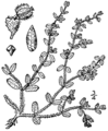 Euphorbia stictospora BB-1913.png