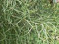 Euphorbia tirucalli (819499579).jpg